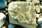 fossil-chordates